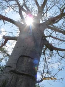 A majestic Baobab at Saadani National Park