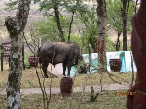 Cape Buffalo drinking water from our hotel's pool.