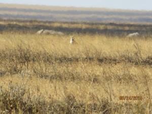 Cheetah on the prowl at the Serengeti.