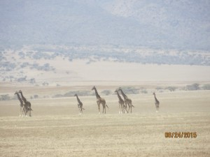 A mirage of giraffes on the way to the Serengeti.