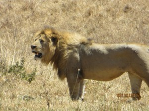 Lion, king of the crater.