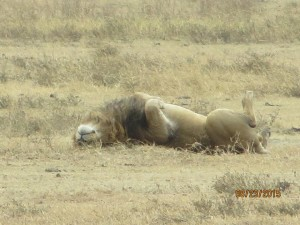 Lion, sleeping in the crater. Yep, that's what lions really do all day.