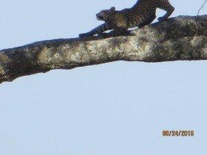 Jaguar stretching after a nap at the Serengeti.